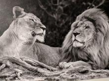 lion and lioness photo in black and white